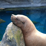 Sleeping Sealion 2