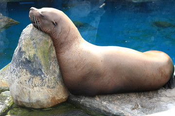 Sleeping Sealion 3