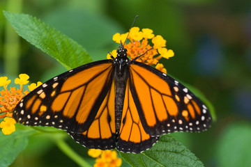 Monarch butterfly on Spanish flag