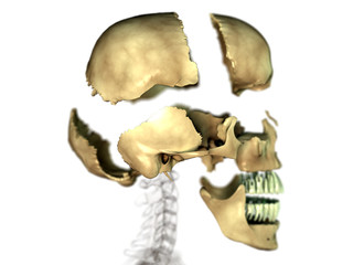Cranium - exploded view - side