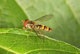 Close up of a Hover Fly poster