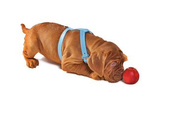 Dogue De Bordeaux Puppy Playing