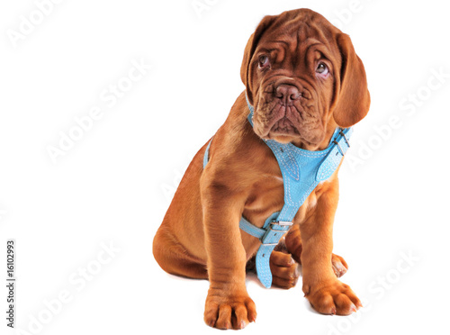 Cute Puppy of Mastiff