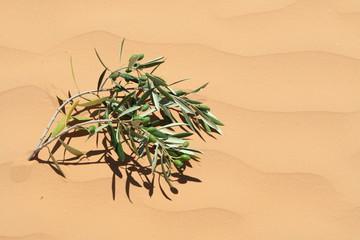 Olivenzweig in Sanddüne