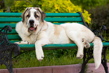 Spanish Mastiff in outdoor settings