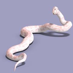 white ball python