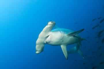 Galapagos Inseln, Ecuador, Scalloped Hammerhai (Sphyrna lewini)