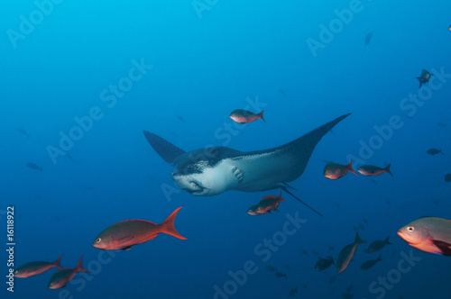 Galapagos Islands, Ecuador, Spotted Eagle Ray (Aeobatus narinari), swimming