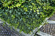 Ivy (Hedera helix), elevated view