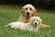 chiot golden retriever couché devant sa mère - tendresse