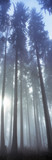 Germany, Altbodman, Fir wood in fog