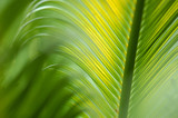 King Sago Palm,Cycas revoluta, close-up