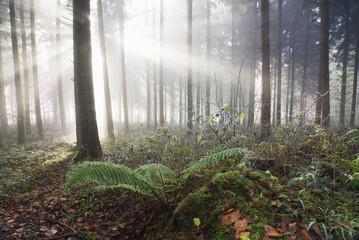 Deutschland, Berlingen, Farn in nebligen Wald