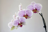 Purple orchides, close-up