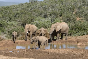 Family of elephants at a waterhole in the South African bushveld