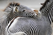 Obrazy na ścianę i fototapety : Zebra