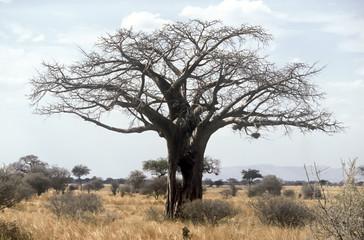 Baobab,Tanzania