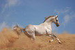 Akhalteke stallion in action on the blue sky background