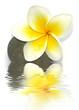 composition zen : fleur de frangipanier sur galet de basalte
