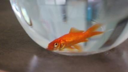 lassitude du poisson rouge