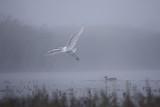 Great white egret Egreta alba in flight on a foggy morning poster