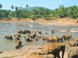 Orfanotrofio elefanti Pinnawela Sri Lanka poster