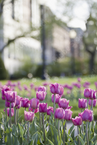 Tulips in a city park