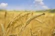 Golden wheat closeup against blue sky