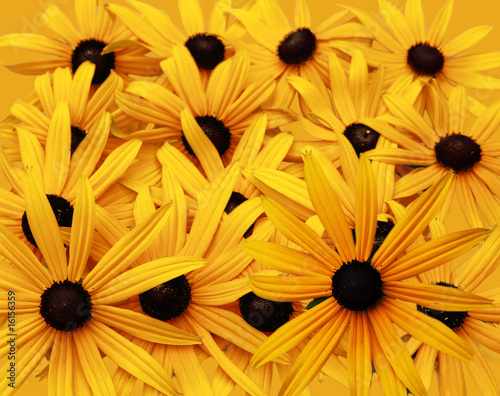Black Eyed Susan Background