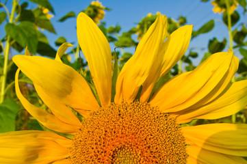 Sonnenblume2