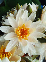 white lilies nb.2