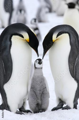 Papiers peints Pingouin Emperor penguins (Aptenodytes forsteri)