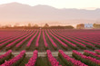 Sunrise over the red tulip field