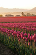 Morning in the tulip fields