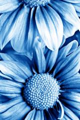 beautiful daisy gerbera