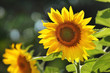 Big beautiful sunflowers outdoors