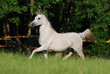 white arabian mare