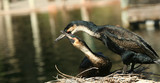 A Pair of Nesting Cormorants Show Affection By the Water poster