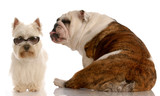 funny dog fight - bulldog and west highland white terrier