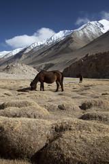 wildpferde in ladakh