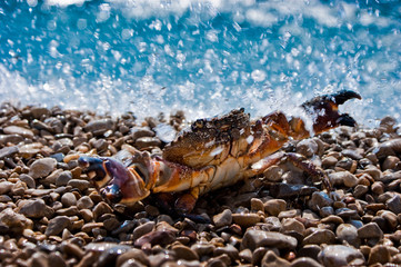 Crab in ocean splashes