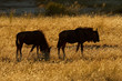 Silhouetted blue wildebeest, Kalahari, South Africa