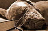 Dog in Glasses sleeping in Books