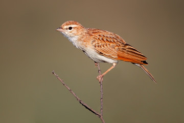 Fawn colored lark (Mirafra africanoides), Kalahari, South Africa