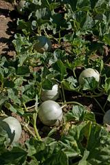 rang de melons