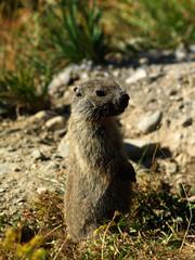 Marmotta di sentinella