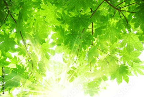 Green maple leaves with sun beams
