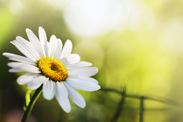 Beautiful daisy flower. Macro close-up, shallow DOF.
