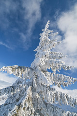 Frozen fir tree isolated on blue sky in the mountains