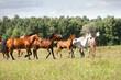 arabian horse herd